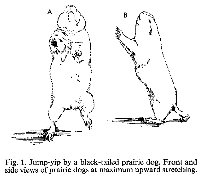 Figure from  W.J. Smith, S.L. Smith, J.G. Devilla, E.C. Oppenheimer. 1976. The Jump-yip display of the black-tailed prairie dog (Cynomys ludovicianus). Animal Behavior 24:609-621