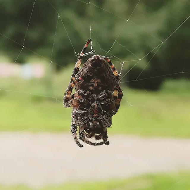 A little spider friend has been protecting the lodge for a couple weeks now. I always find there's so much more beauty when I just look a little closer. . [image description: close up shot of the underside of a gray, brown, and black fuzzy spider hanging out on their web] . #spider #protector #payattention #getcloser #spiritualretreatcenter