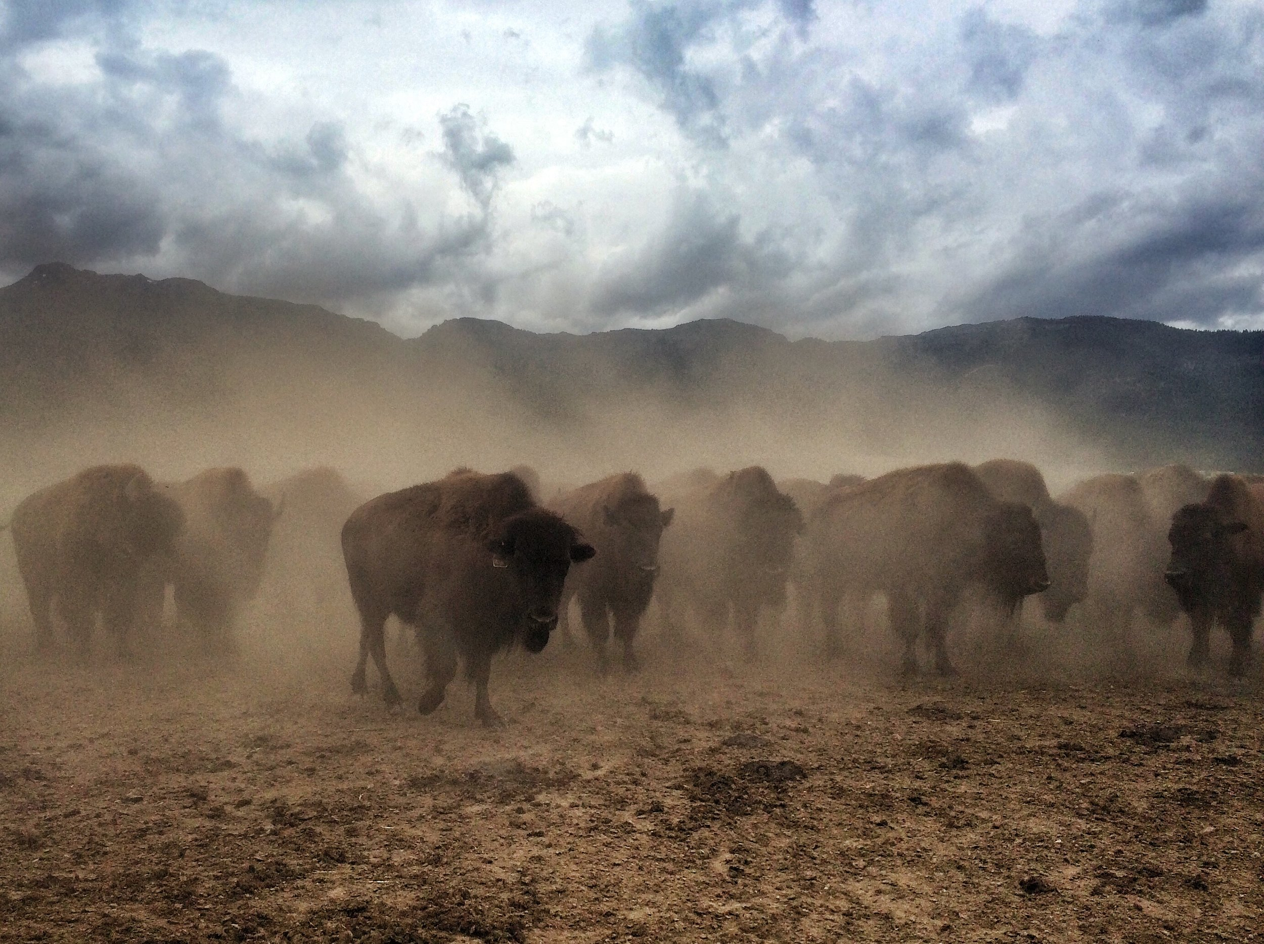 Nicky Farms Grass-Fed Bison - Stampede.jpg