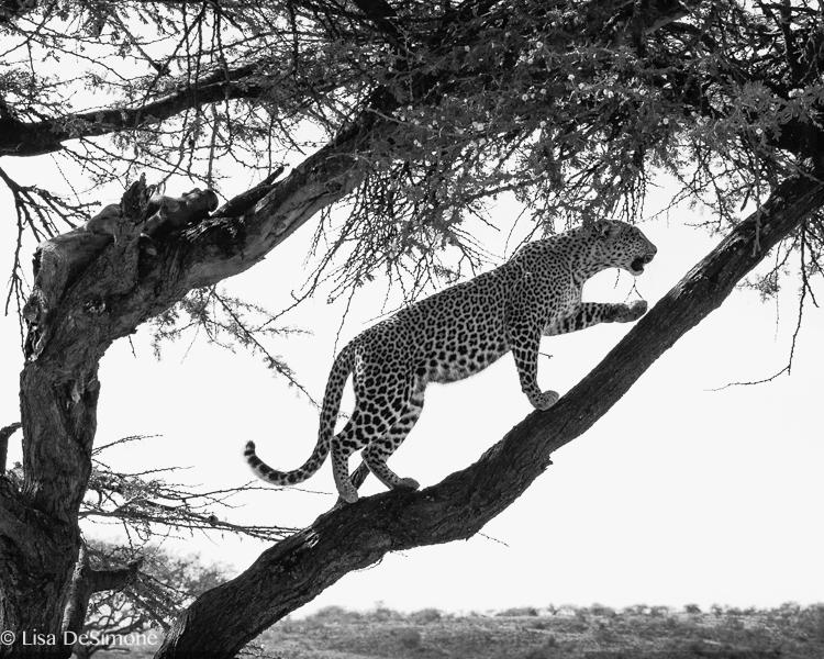 fig, a leopard in the maasai mara, Kenya