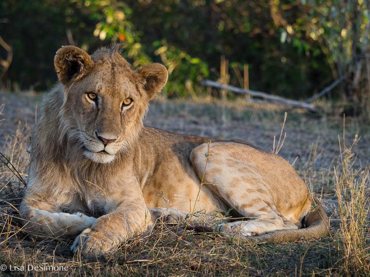 Kenya cats color-3.jpg
