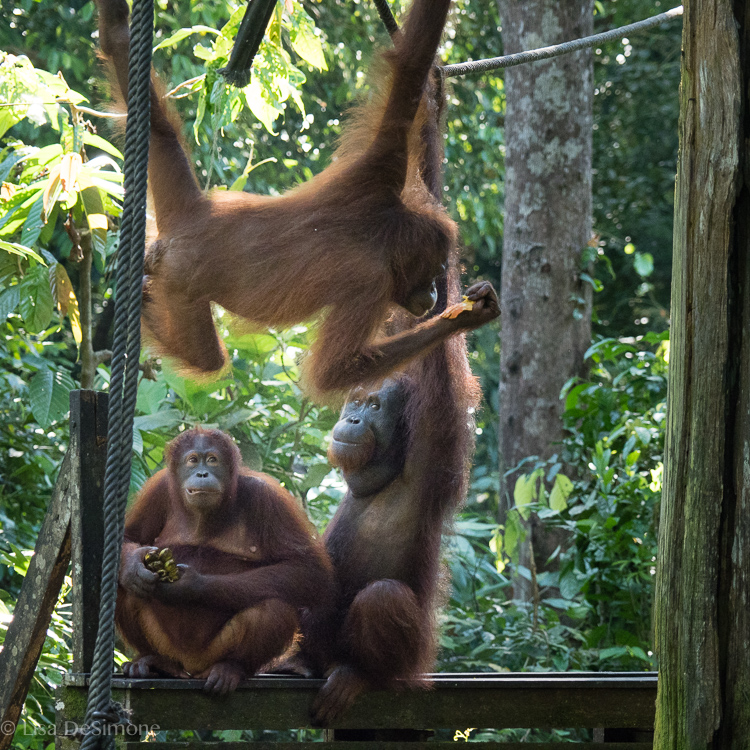 Monkey-ing around during feeding time at the Sepilok Organgutan Rehabilitation Centre in Borneo Malaysia