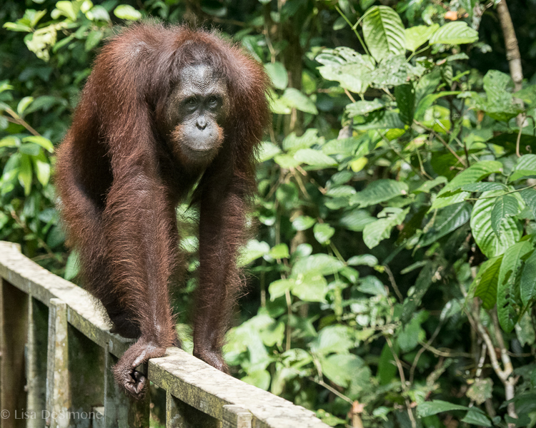 What a surprise to come across this guy while I was walking alone on the paths of the Sepilok Orangutan Rehabilitation Centre