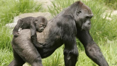 Ape mama and her baby