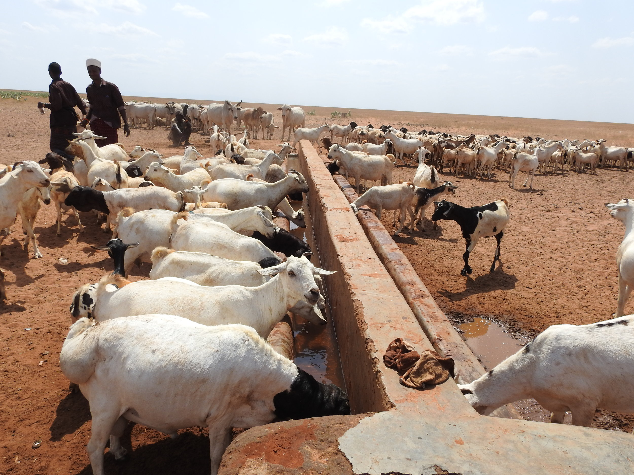Animals quenching their thirst at Burgabo borehole.jpg