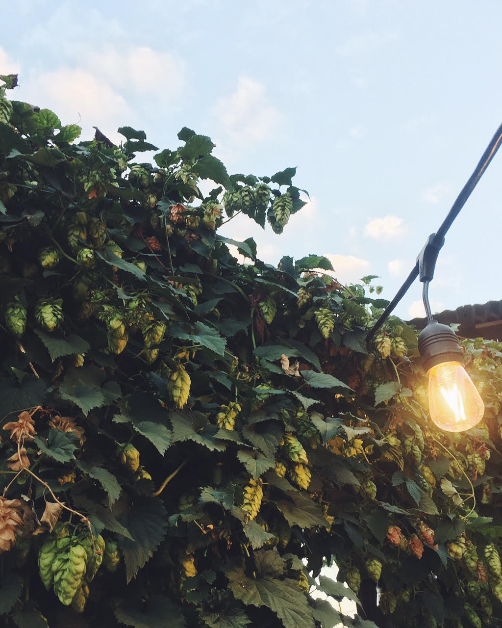 hop covered patio at Country Boy Brewing in Lexington, Kentucky