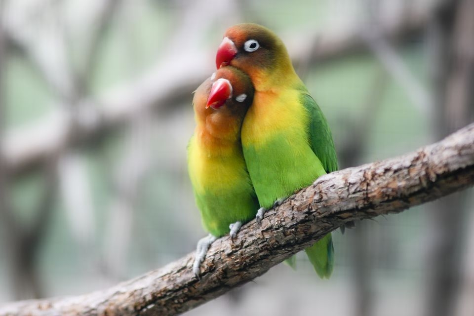 Lovebirds-GettyImages-510427100-58d005853df78c3c4f3b36e3.jpg