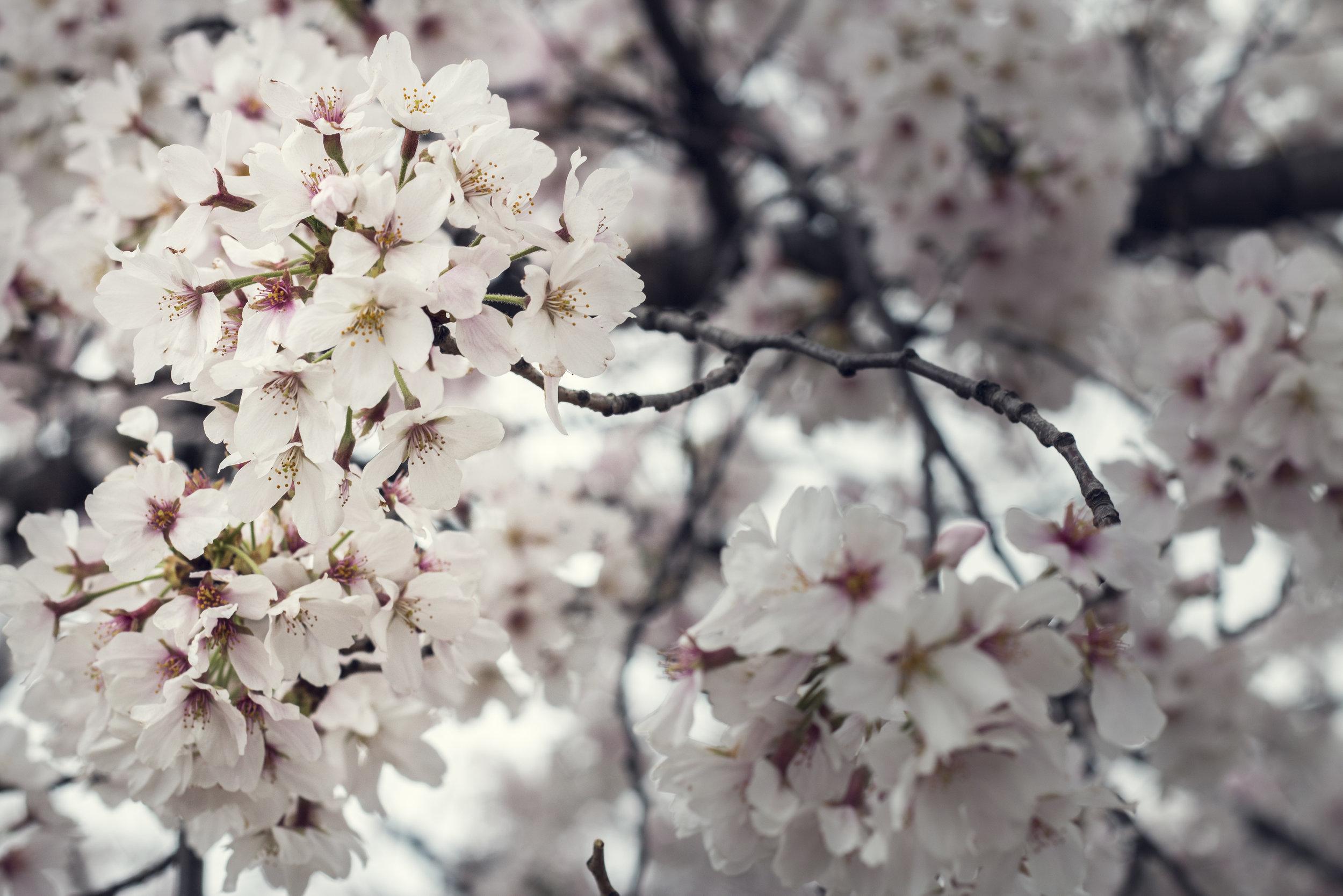 DC Cherry Blossoms, 2016
