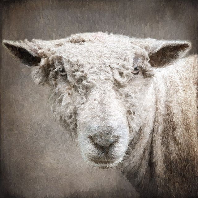 I was wandering again today and came across this wonderful sheep! #morganjanemillerphotography #sheep#farm animals