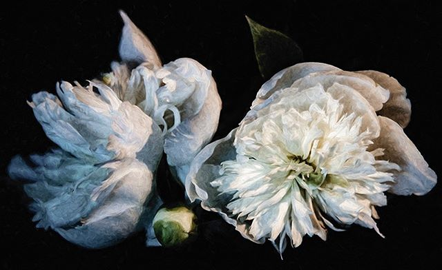 They are so divine! #morganjanemillerphotography #peonies