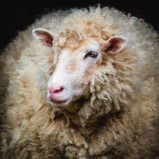 I loved this one! Such a ball of wool! #morganjanemillerphotography #sheep