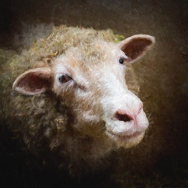 This is a Dorset Sheep and she was very friendly. #morganjanemillerphotography #sheep