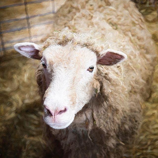 Well, hello! #morganjanemillerphotography #sheep