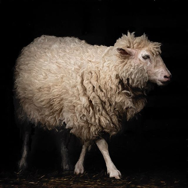 I love the lighting in this barn doorway. #morganjanemillerphotography #sheep