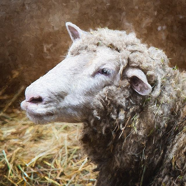 Covered in straw. #morganjanemillerphotography #sheep