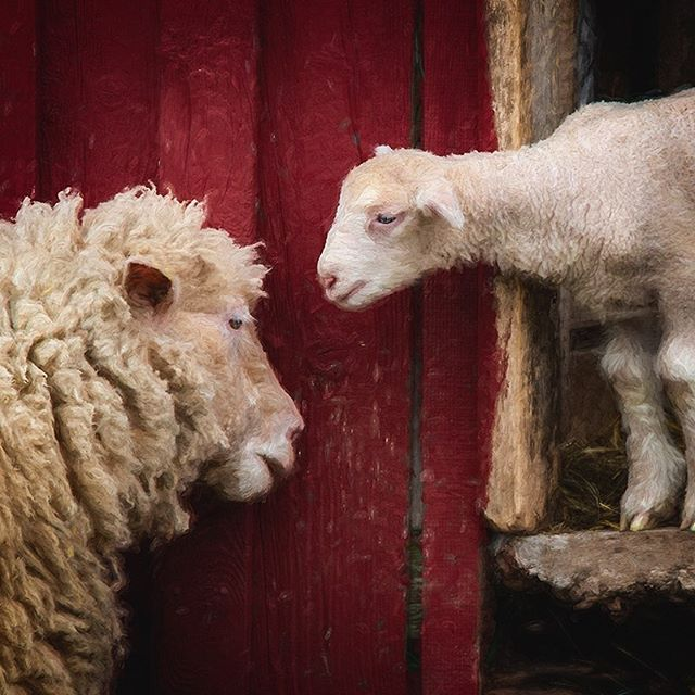 Loved this mom and her baby...#morganjanemillerphotography #sheep