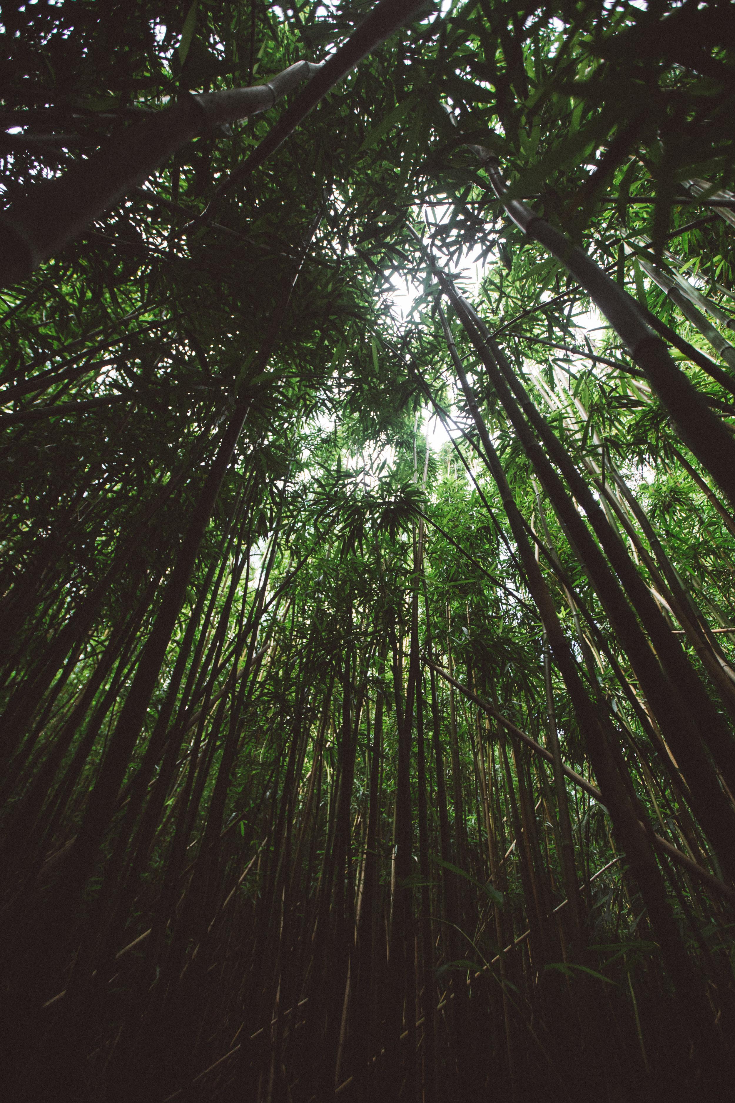 Oahu Bamboo Shoots
