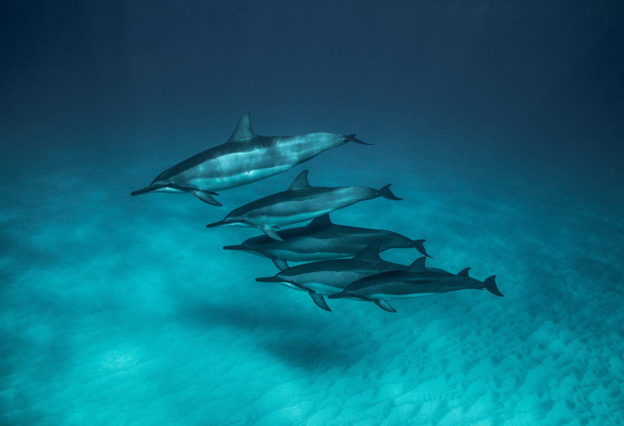 Dolphins of Hawaii