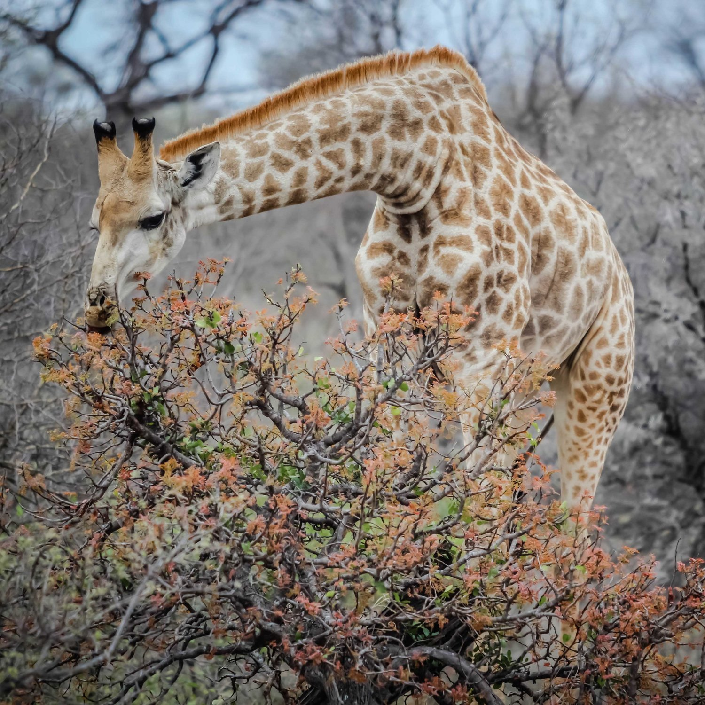 giraffe-1.jpg