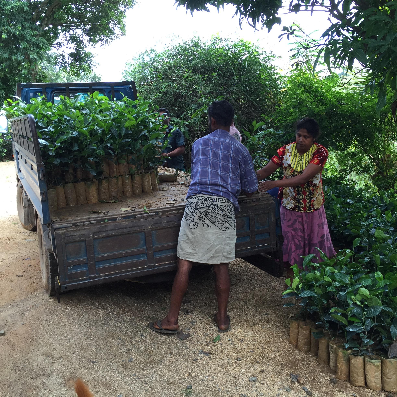 14 new tea plants in lorry copy.jpg