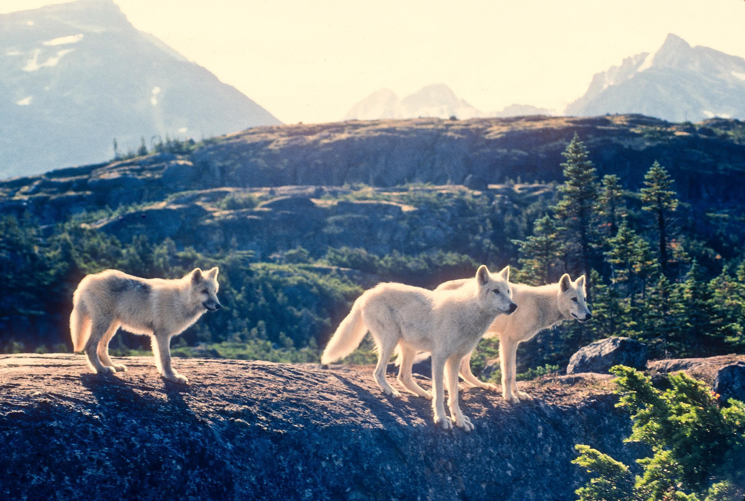 white wolves.jpg