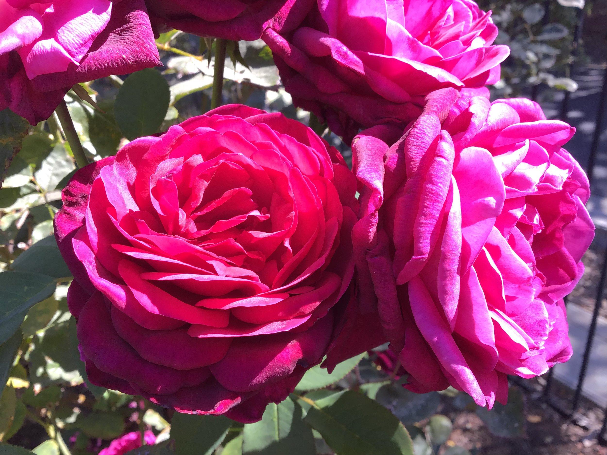 rose garden2.jpg