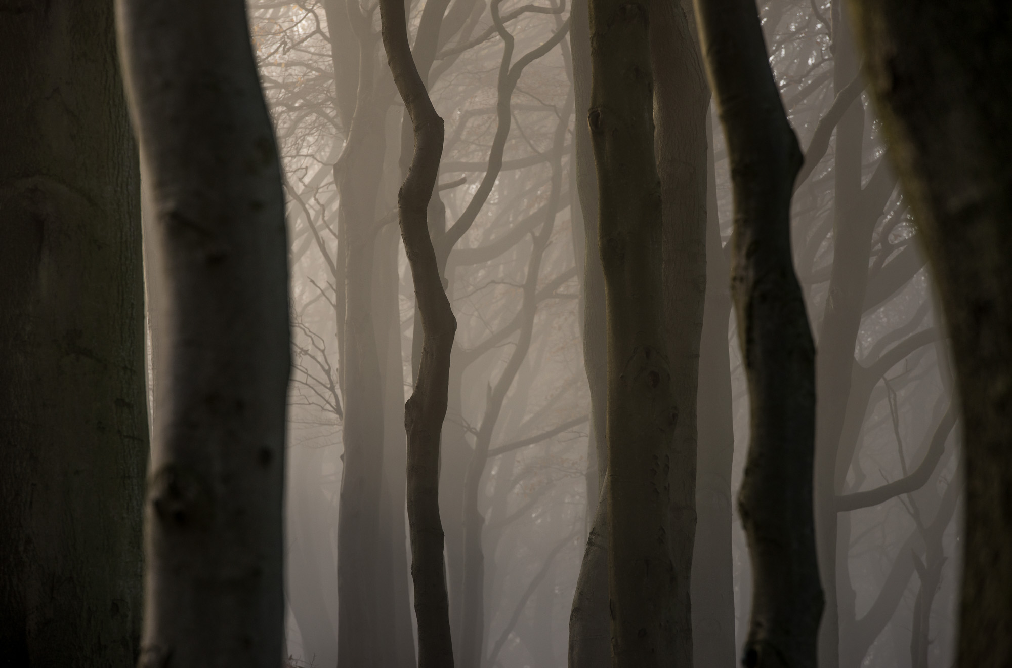 Beech trees together with mist