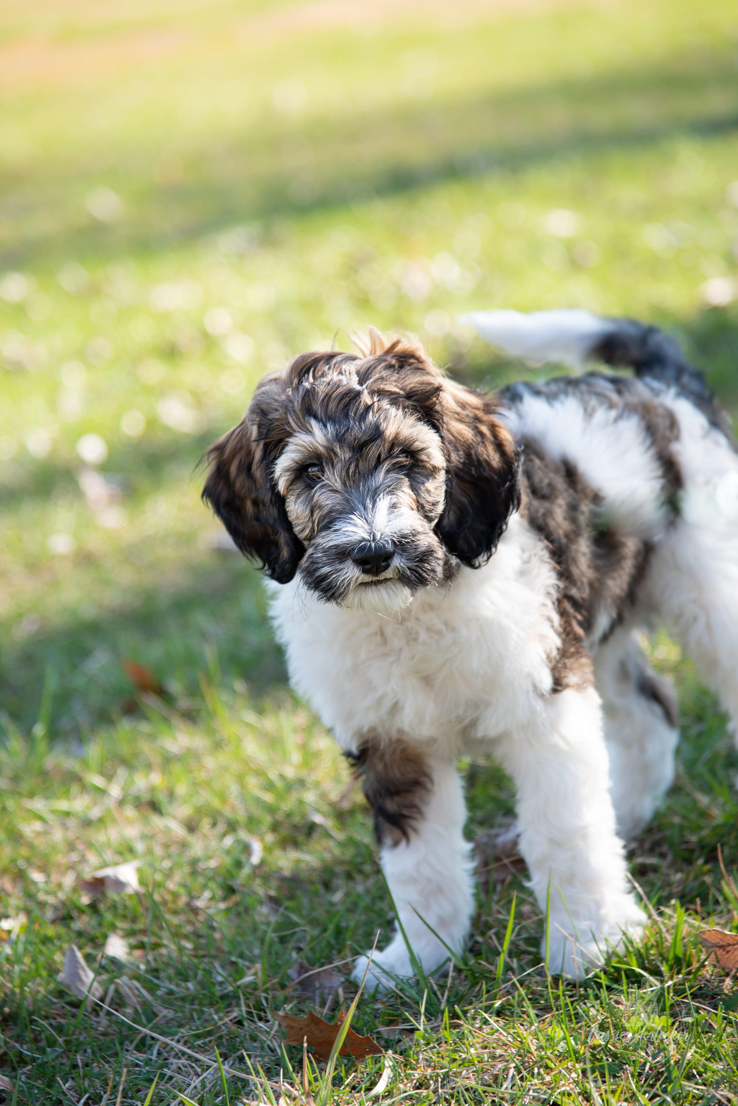 Puppies For Sale In Manhattan Ks