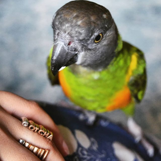 Alephba's giveaway deadline has been extended to July 29th! Help us celebrate Tango's @myparrotlife Gotcha Day and win a free ring 🐦💍! **Reminder** This giveaway is open to people living in the 🇺🇸 United States 🇺🇸 Rules to enter: . 1) LIKE this post ❤️ . 2) Make sure you are following BOTH @alephba.jewelry and @myparrotlife 👯‍♂️ . 3) Tag a few friends who might not know us! Each tagged friend counts as an entry, up to three entries counted for each person! 👼👼👼 . 4) For a bonus entry, repost this image with the hashtags #oneyearwithtango and #alephbajewelry 🤗🤗 . . . . .  #birdsofinstagram #animalsmood #kings_birds #birdwatching #bestbirdshots #birdstagram #animalsaddict #birding #instabirds #your_best_birds #nuts_about_birds #fashionpost #instastyle #fblogger #lookbook #fashionlover #outfitoftheday #ootdshare #lookoftheday #mylook #fashionable #currentlywearing #fashionblog #jewelry #3dprinting #giveaway