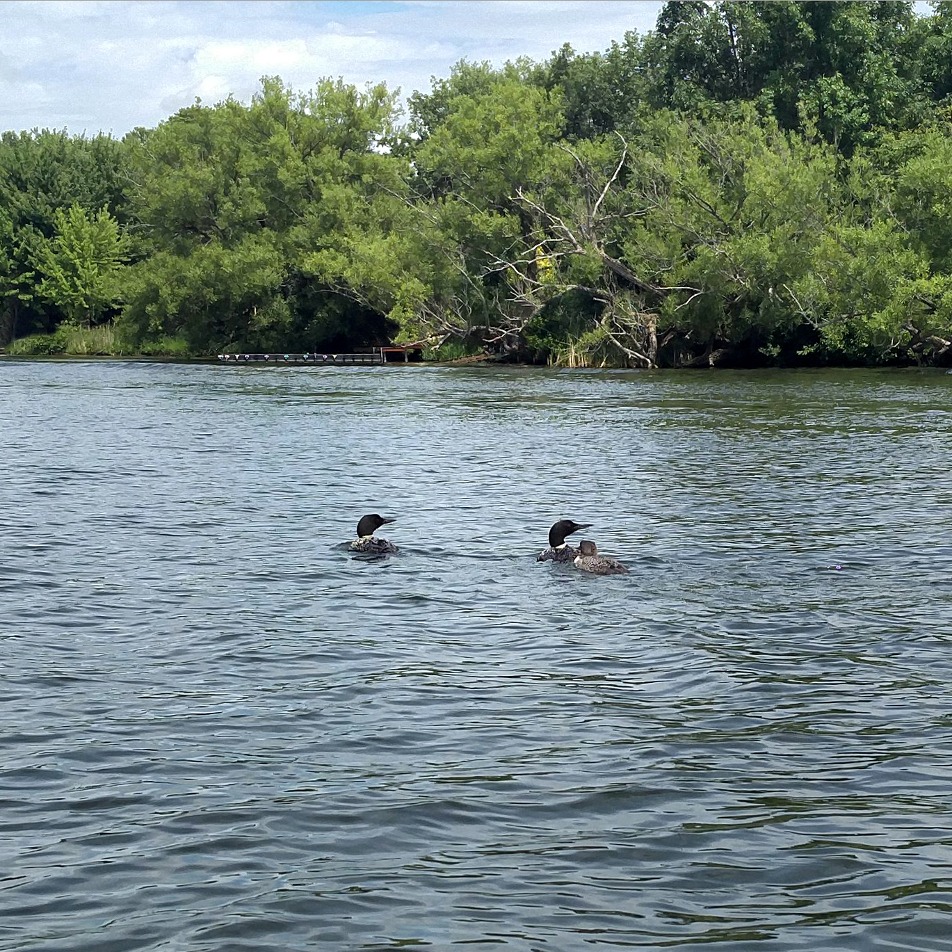 Loons on the river