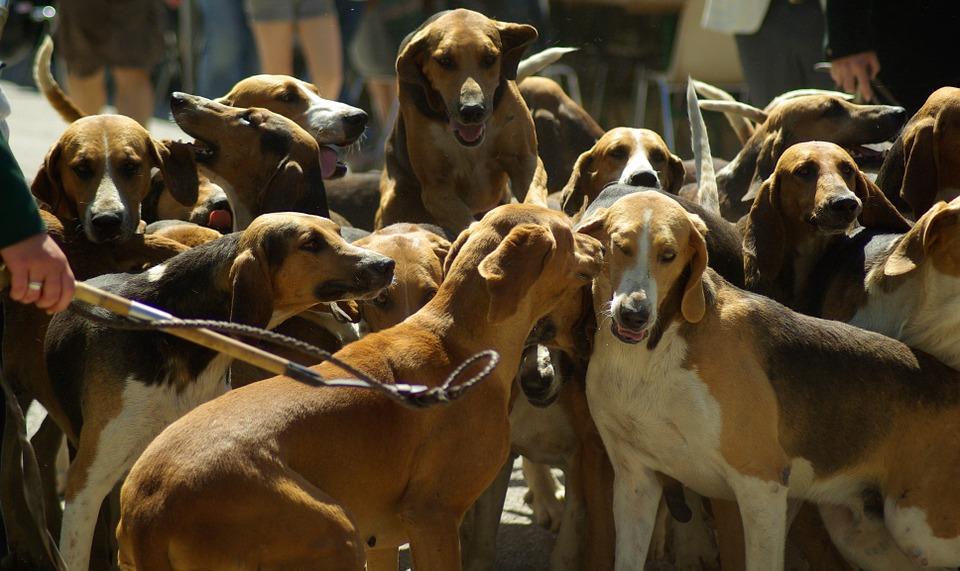 hunting-dogs-800845_960_720.jpg