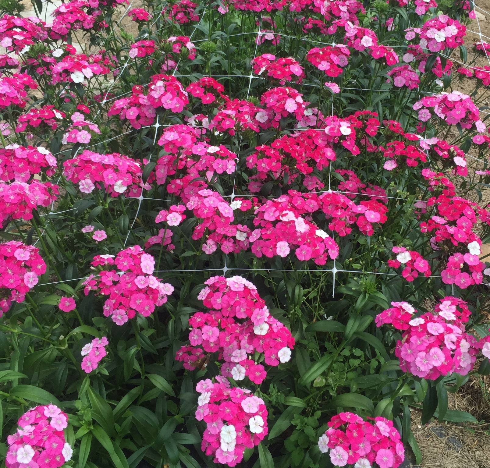 Dianthus-sweet