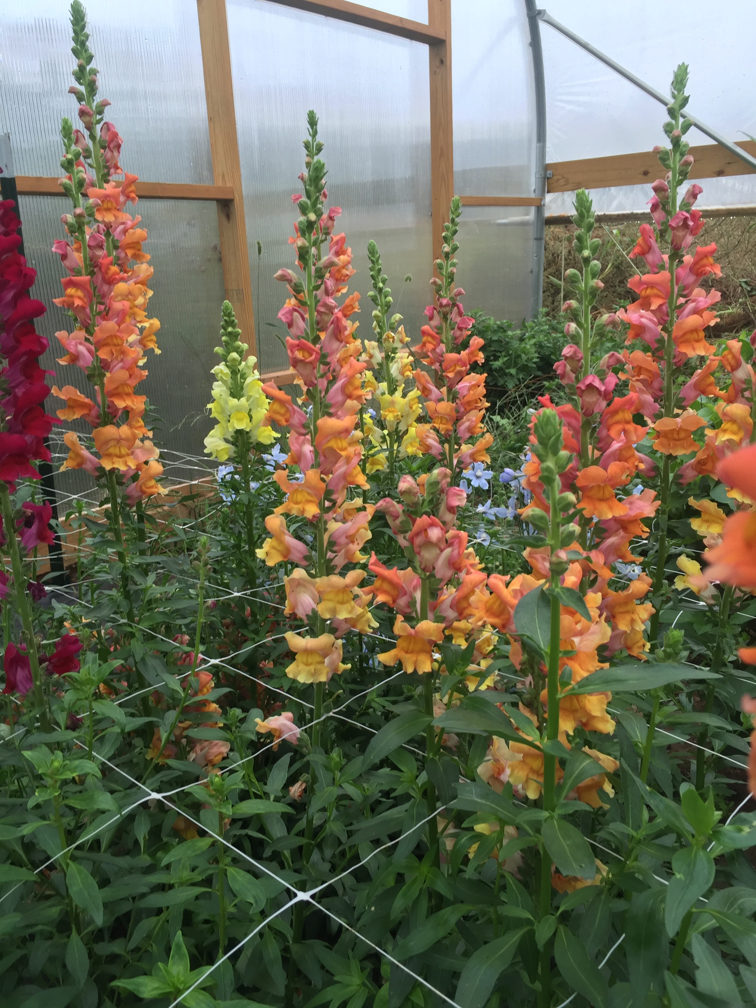 Snapdragon, 'Early Bronze'