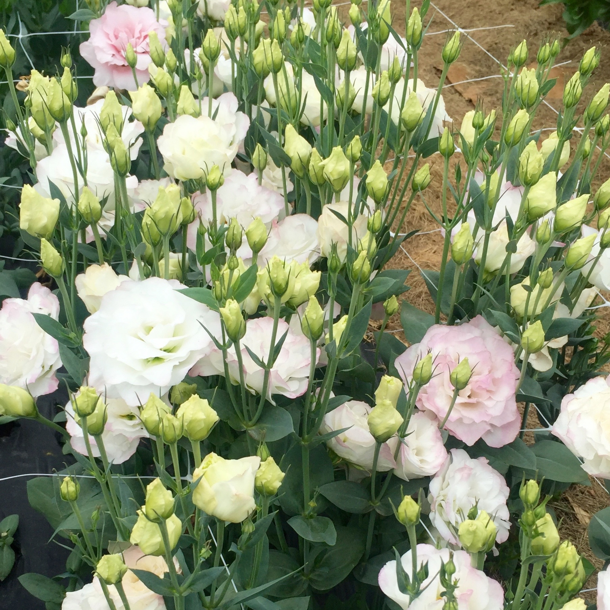 Lisianthus, Misty Pink and White