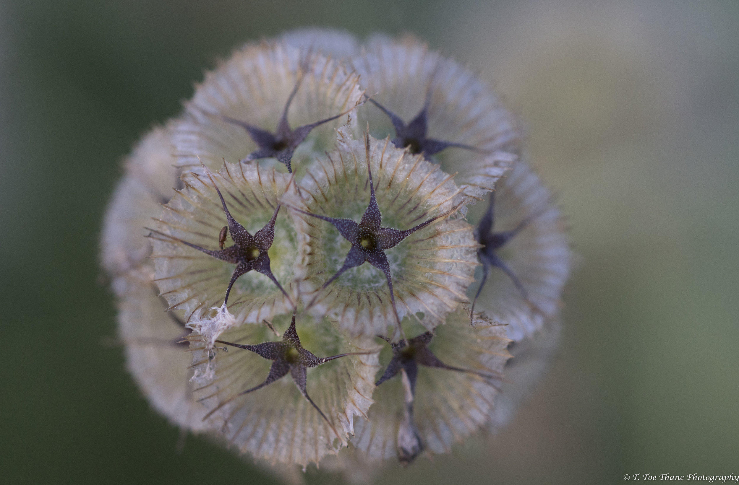 Scabiosa, ping pong