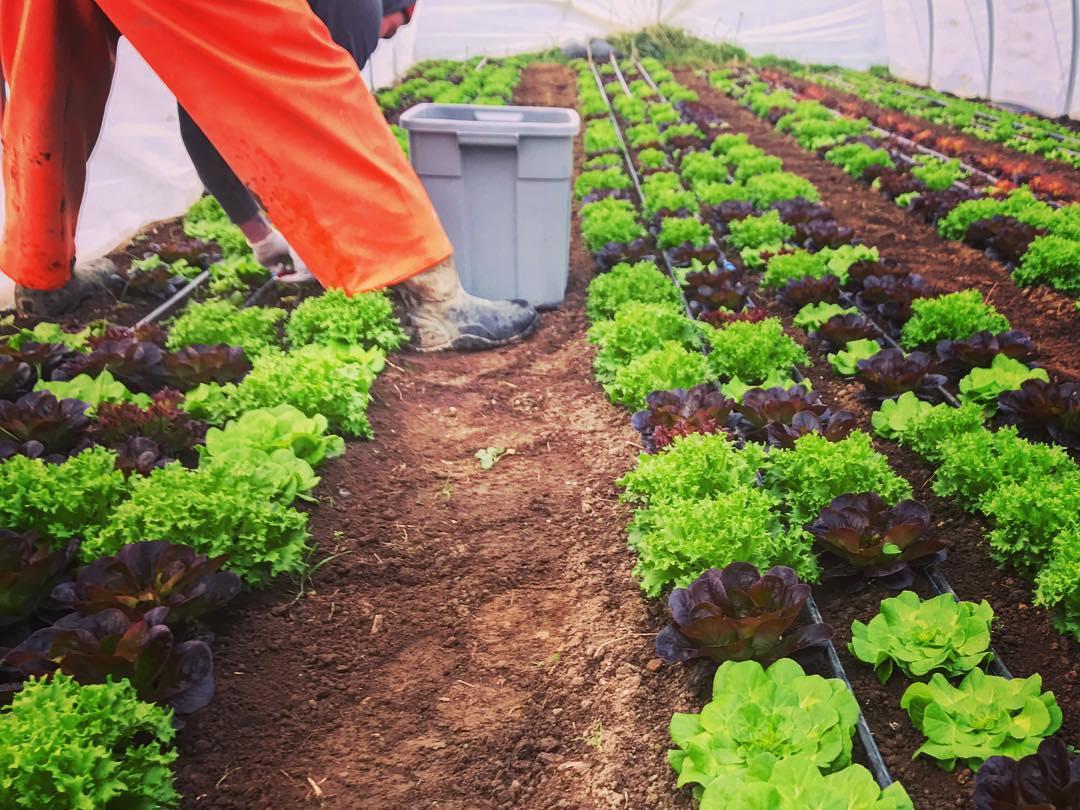 phelan salanova harvest.jpg