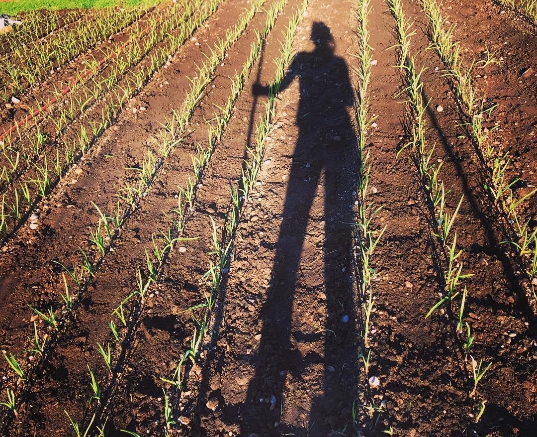 garlic cultivating.jpg