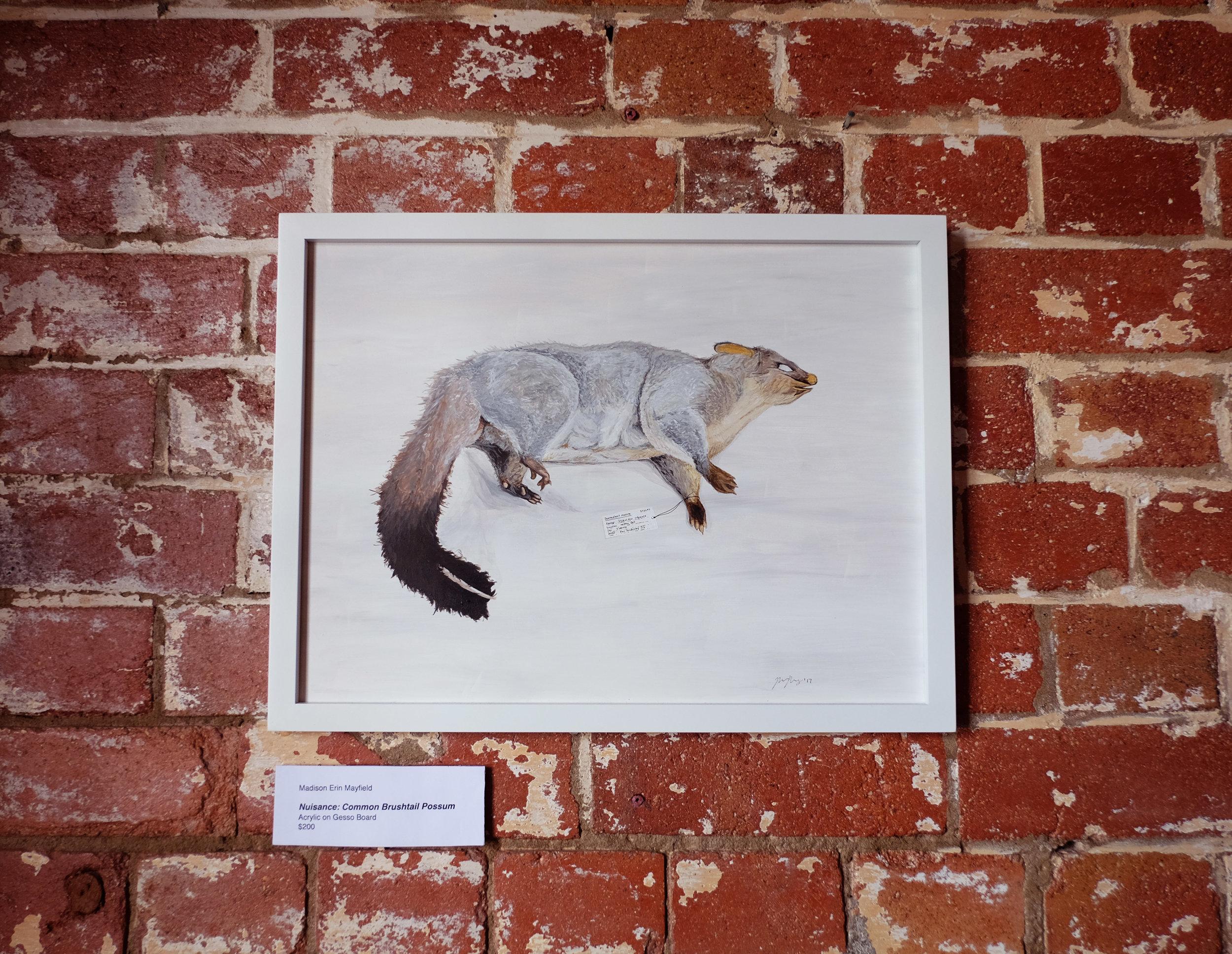 Scientific illustration of Australian possum by Madison Erin Mayfield