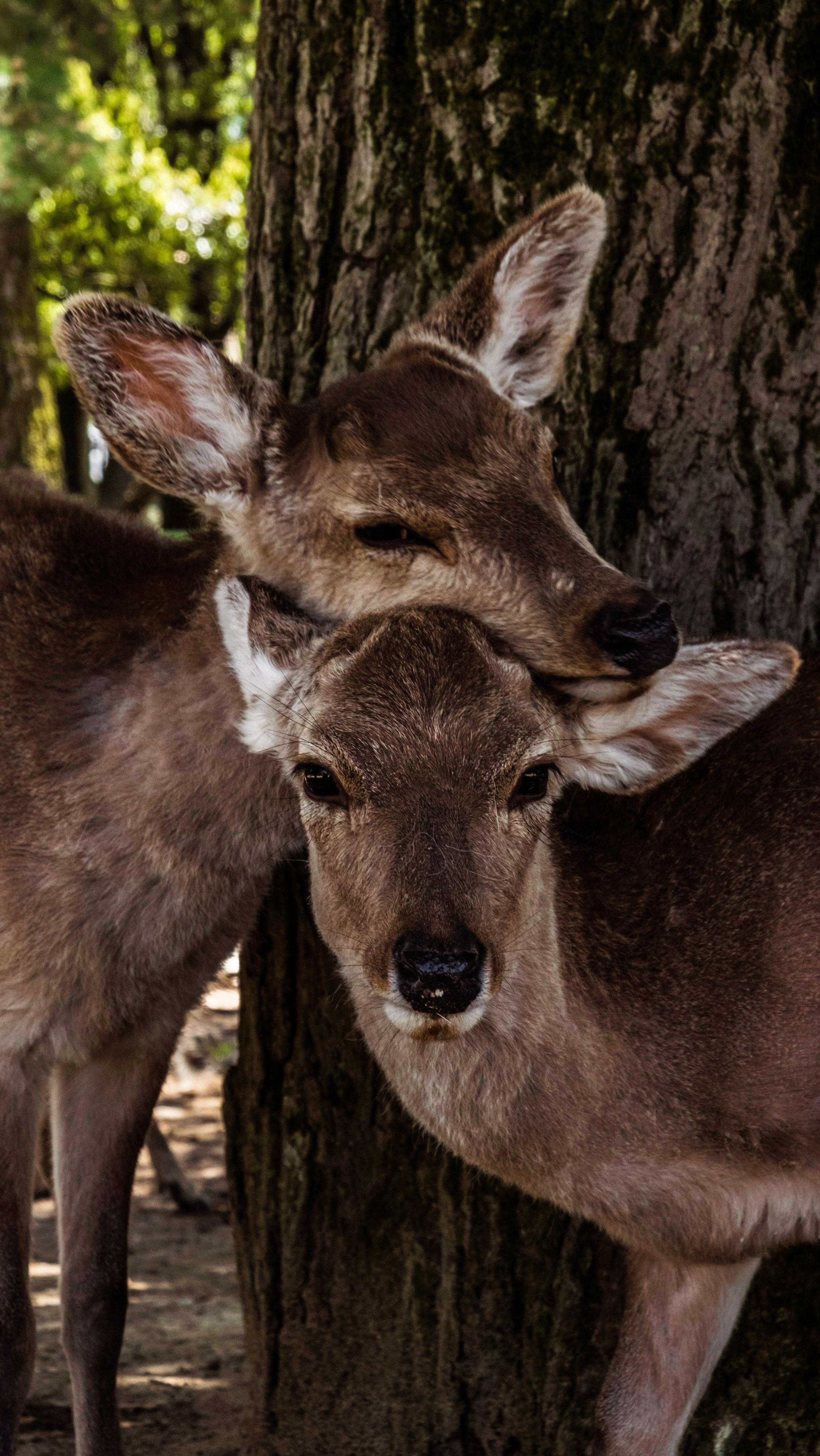 Baby deer in Nara park