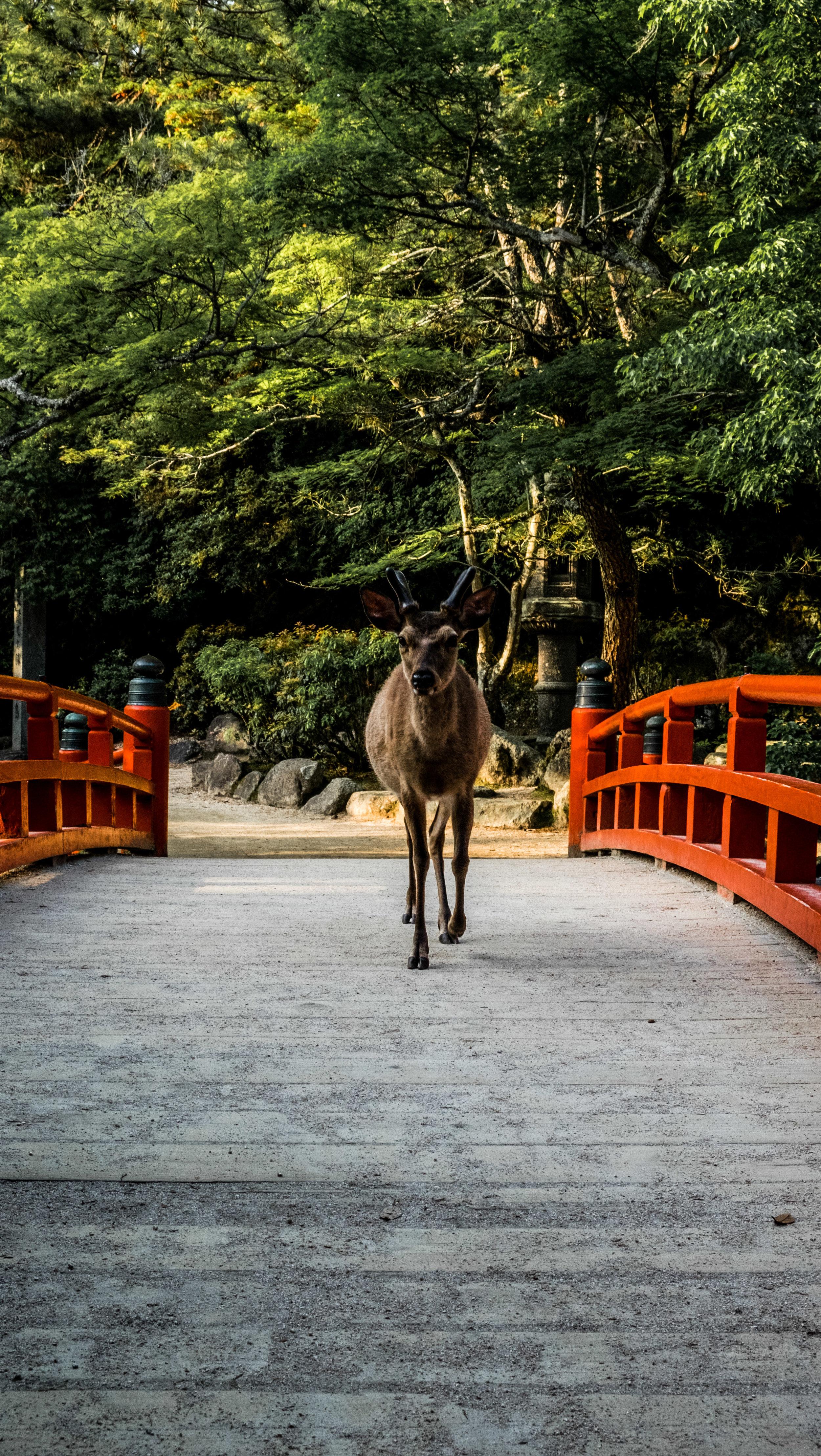 deermiyajima.jpg