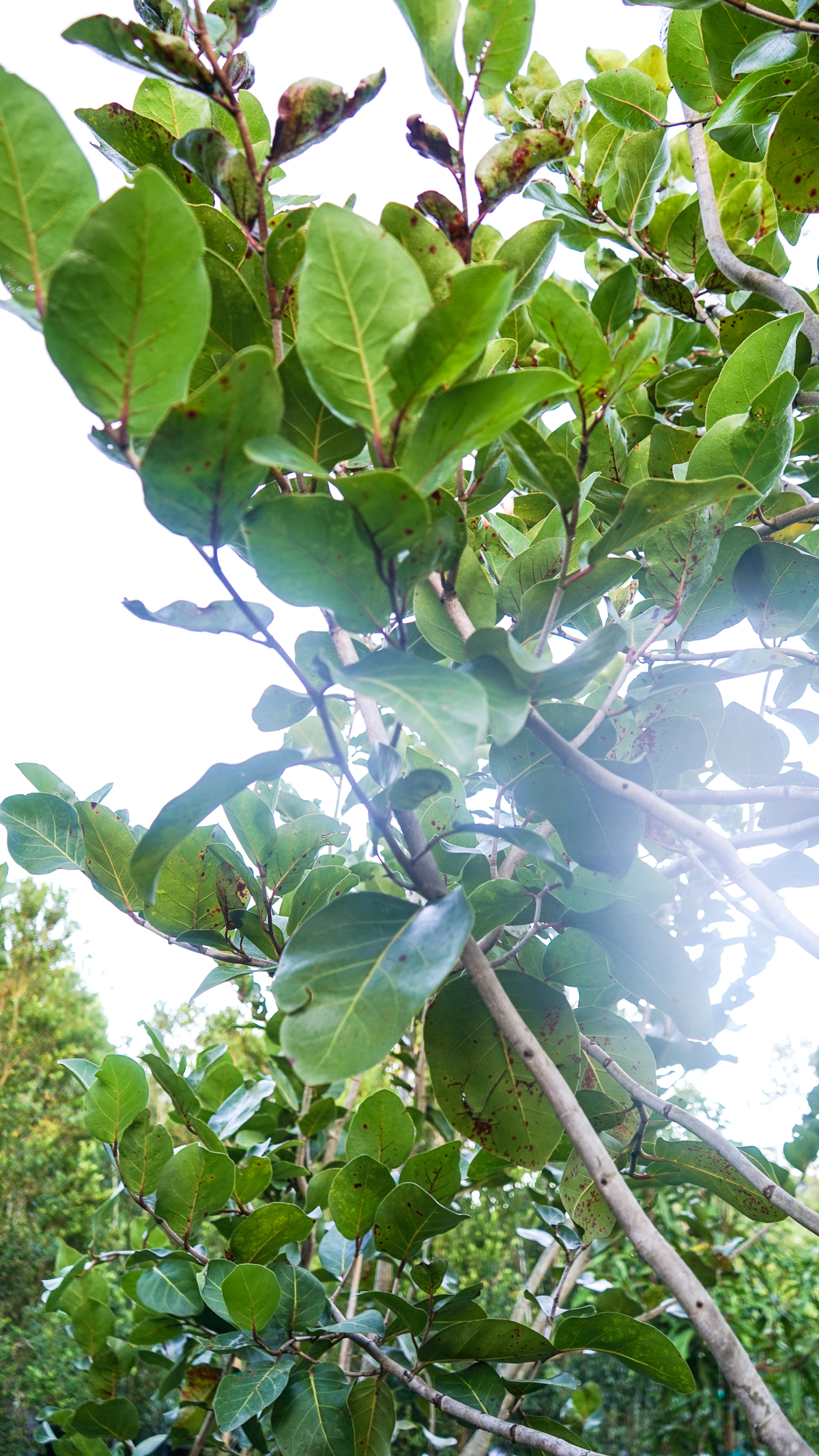 Plant Creations Nursery Sea Plum coccoloba uvifera x diversifolia