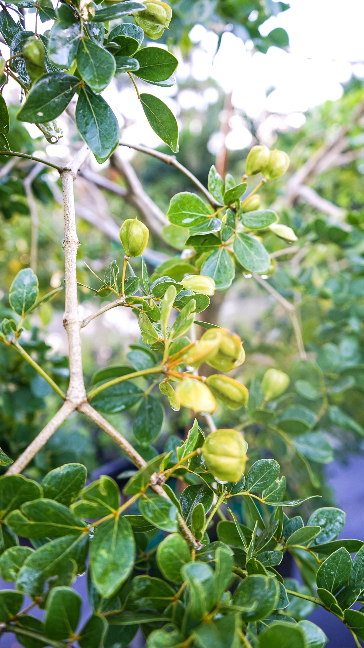 Roughbark Lignumvitae Guaiacum Officinale Plant Creations