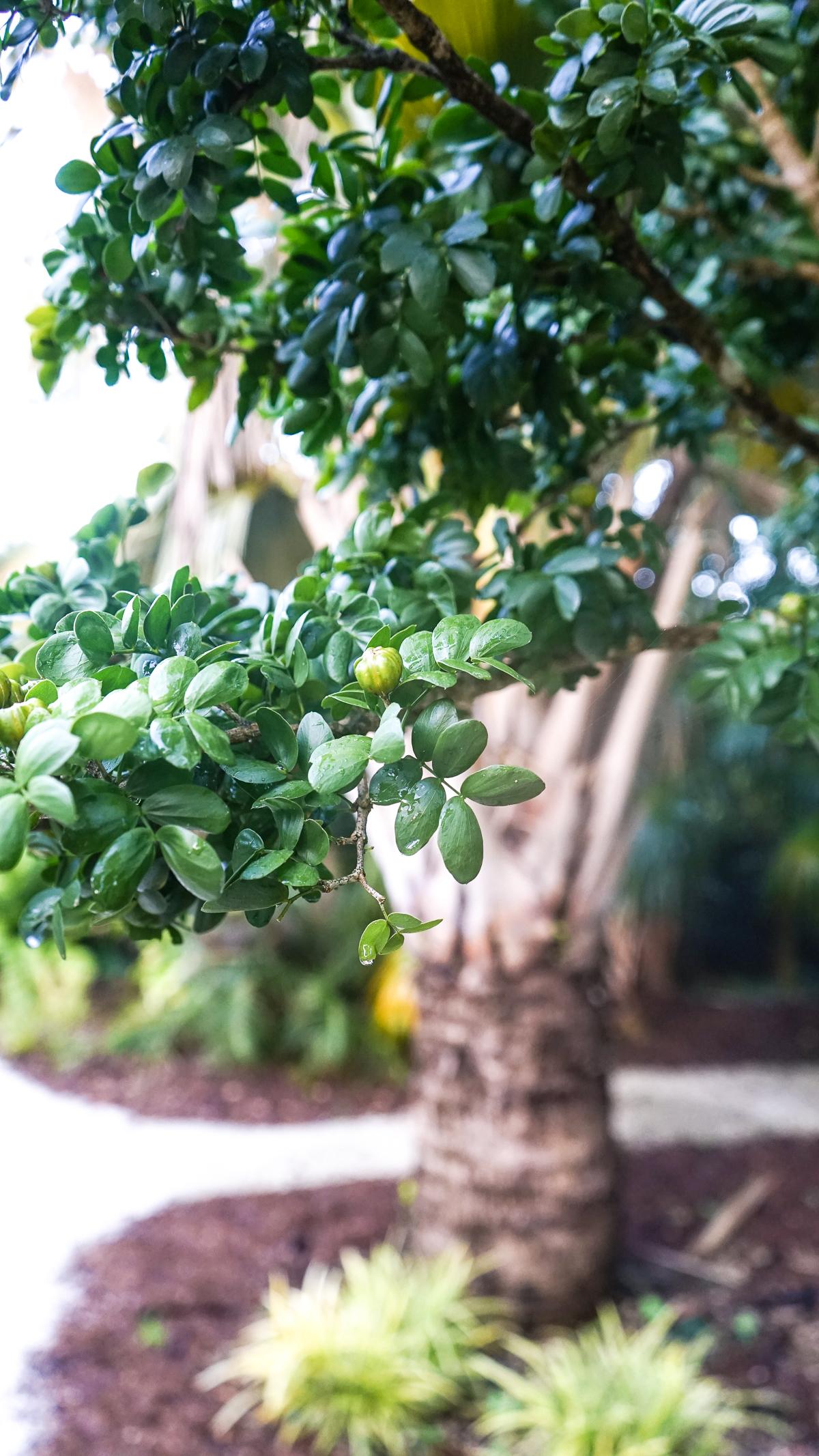 Plant Creations Nursery Guaiacum Sanctum Lignumvitae