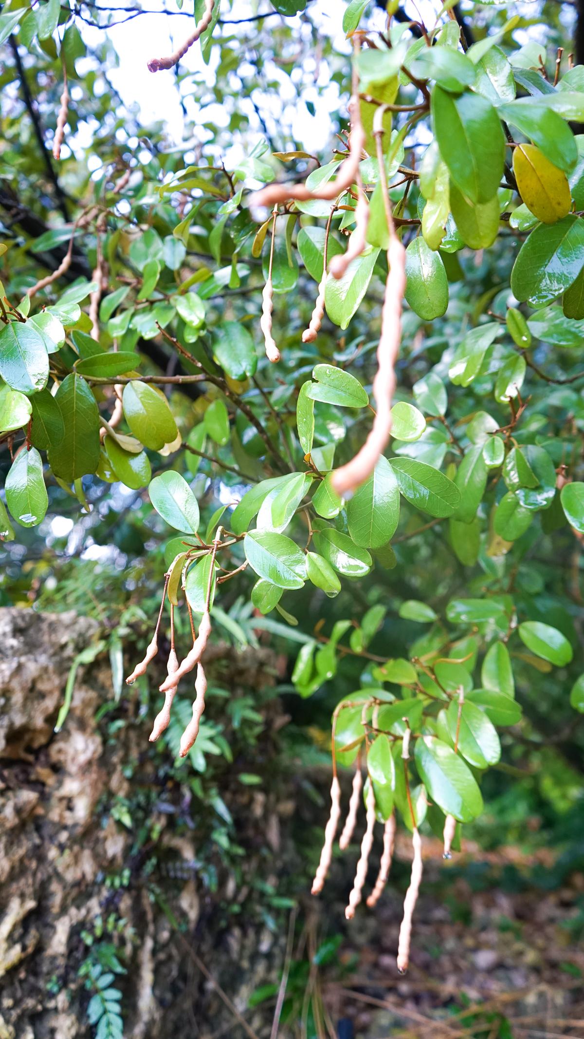 Plant Creations Nursery Jamaica Caper Capparis cynophallophora L.