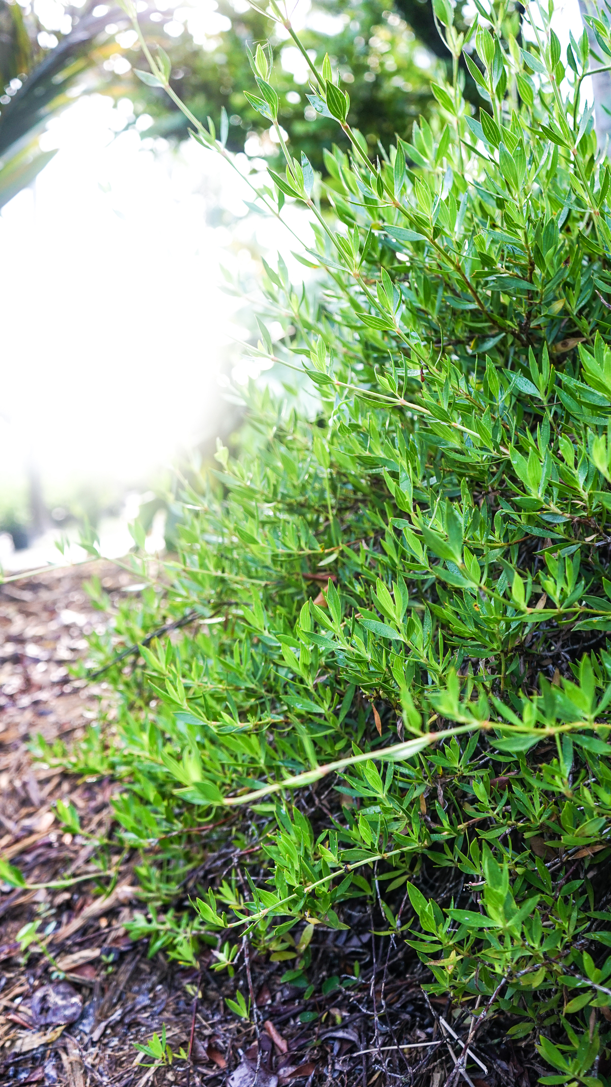 Plant Creations Nursery Golden Creeper Ernodea Littoralis