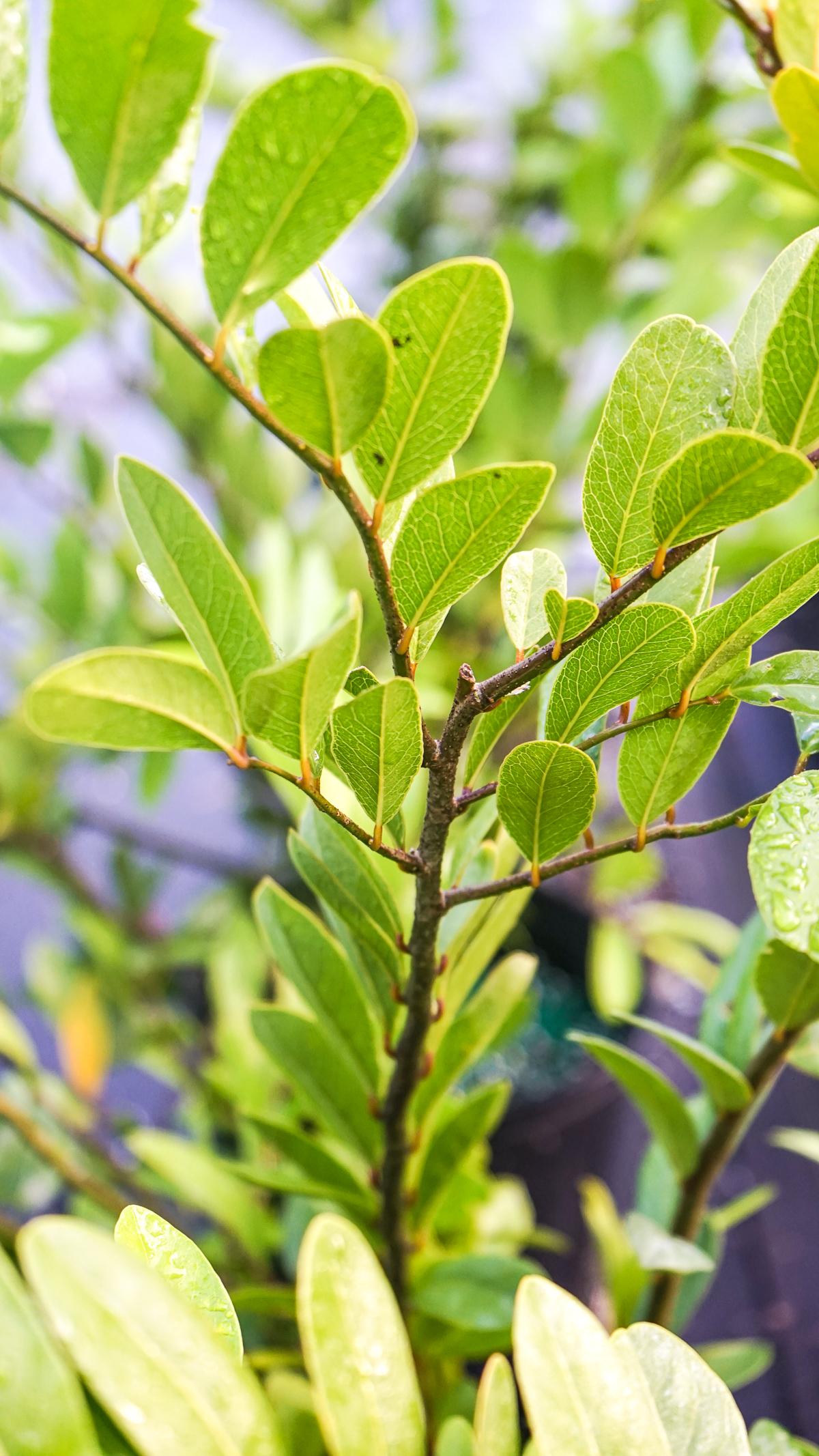 Plant Creations Nursery Limber Caper Capparis flexuosa L.