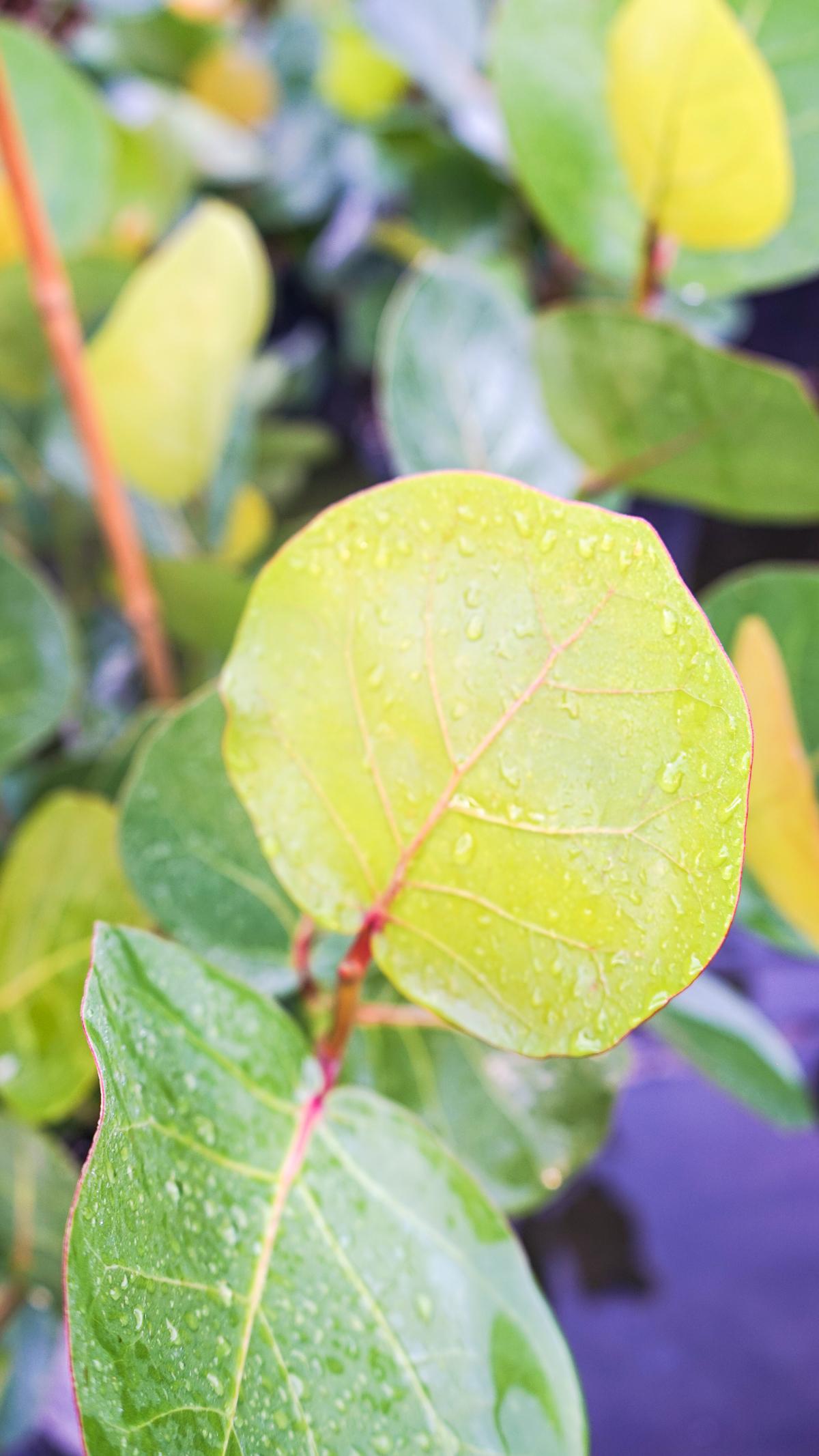 Plant Creations Nursery Sea Grape Coccoloba uvifera