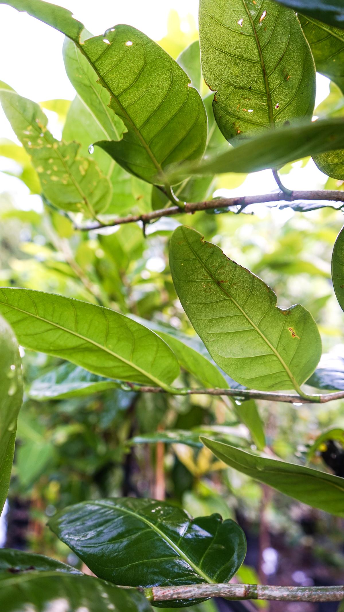 Plant Creations Nursery Pigeon Plum
