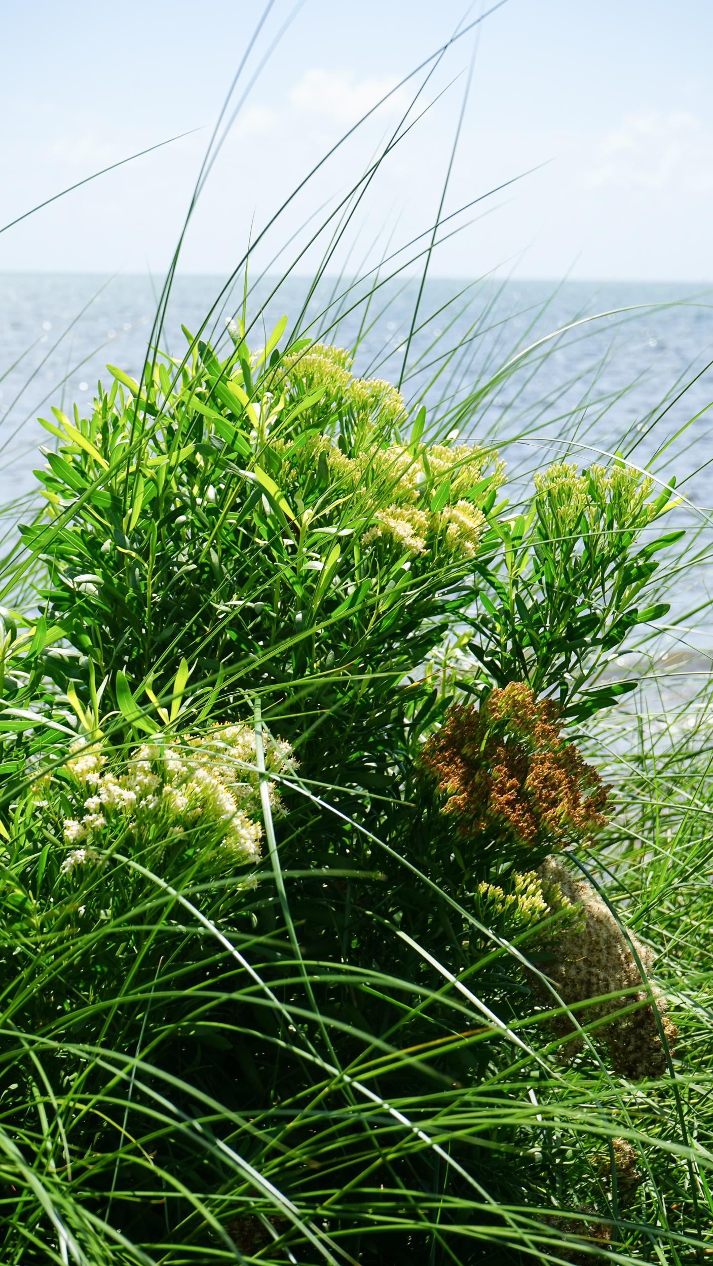 Plant Creations Nursery Broombush Baccharis dioica