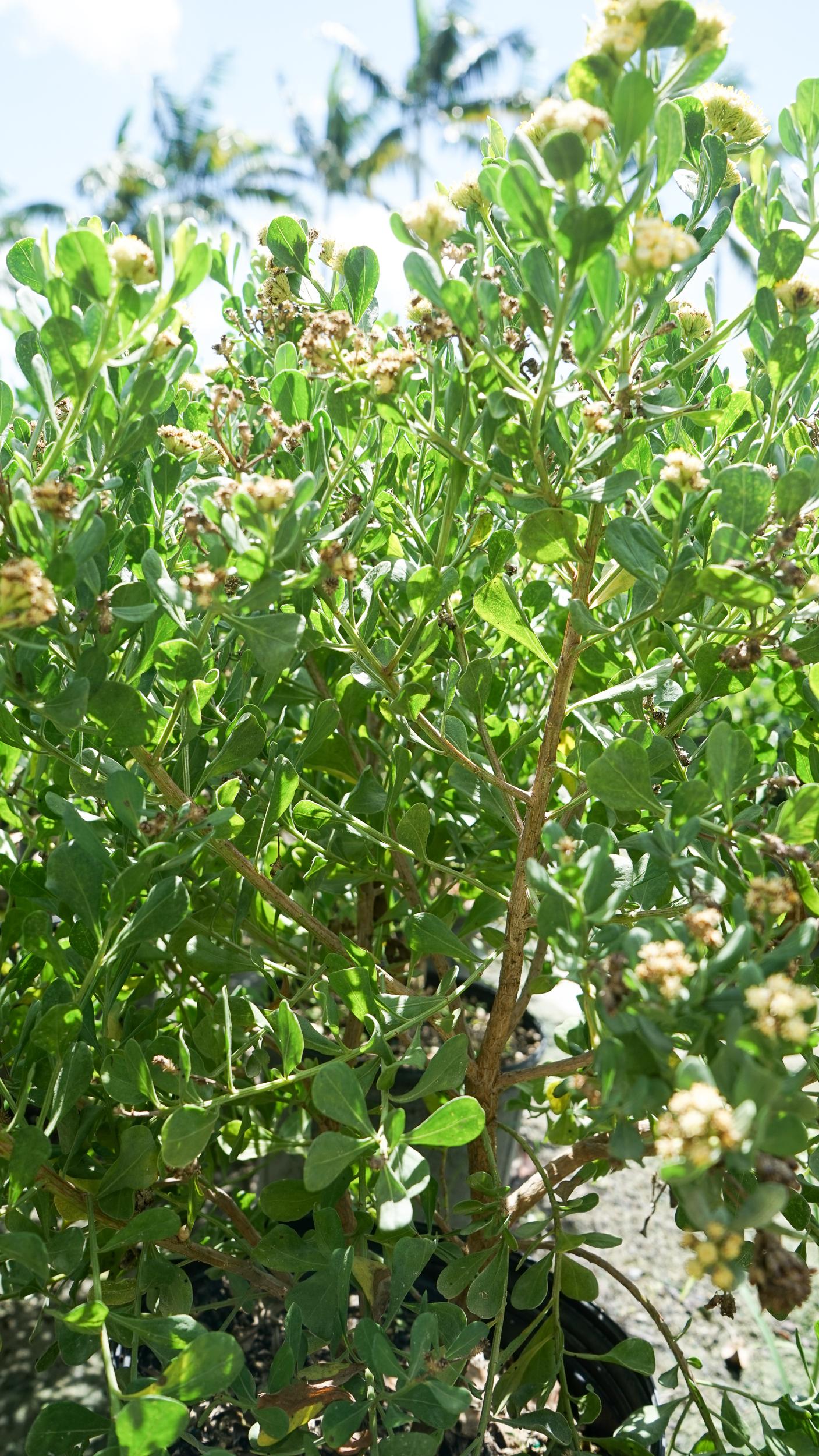 Plant Creations Broombush Baccharis dioica